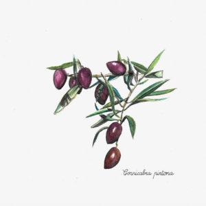 Der Säuregehalt eines Olivenöls wird durch seinen Gehalt an freien Fettsäuren bestimmt (d.h., sie sind nicht Teil einer Lipidverbindung) und wird durch Gramm Ölsäure pro 100 g Öl ausgedrückt. Diese Qualitäten hängen nicht mit der Intensität des Geschmacks zusammen, sondern sind eine Richtlinie für die Katalogisierung von Olivenölen.  Der Säuregrad hängt auch von der Olivensorte ab. Arbequina ist die Olivensorte mit dem geringsten Säuregehalt.